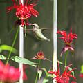 Humming Bird 7 by David Stasiak