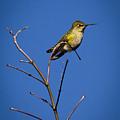 Humming Bird Evacuation by Jean Noren