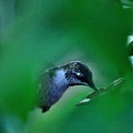 Humming Bird Feeding by Charles J Pfohl