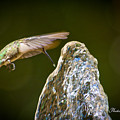 Humming Bird Hovering Over Water Fountain Getting A Drink by John Tarr Photography  Visual Adventurer