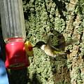 Humming Bird by Richard Payer