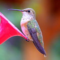 Hummingbird - 18 by Mary Deal
