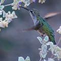 Hummingbird 0091 by Tam Ryan