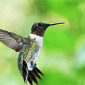 Hummingbird 03 - 9-13 by Barry Jones