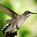 Hummingbird 04 - 9-13 by Barry Jones
