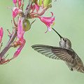 Hummingbird 0553-051318-1cr by Tam Ryan