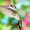 Hummingbird 06 - 9-13 by Barry Jones