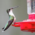 Hummingbird 33 by David Stasiak