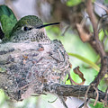 Hummingbird 3586-022617-1cr by Tam Ryan
