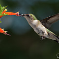 Hummingbird #4 by Ron Simpson