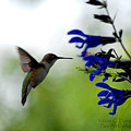 Hummingbird And Blue Flowers by Dave Chafin