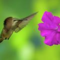 Hummingbird And Flower by Allin Sorenson