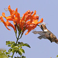 Hummingbird And Honeysuckle by Clarence Alford
