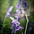 Hummingbird And Purple Lupine  by Saija  Lehtonen