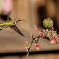 Hummingbird And Red Yucca by Allen Sheffield