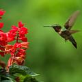 Hummingbird And Scarlet Sage by Lori Coleman