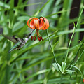 Hummingbird And Tiger Lilly by David Arment