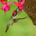 Hummingbird At Fuchsia by Sharon Talson