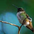 Hummingbird At Rest by Bob Marquis