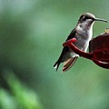 Hummingbird At Rest by Gina Sullivan