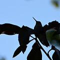 Hummingbird At Sunrise Silhouette by Thomas Woolworth