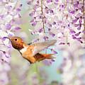 Hummingbird At Wisteria by Susan Gary