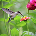 Hummingbird At Zinnia In Garden by Karen Adams