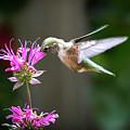 Hummingbird Beauty by Judi Dressler