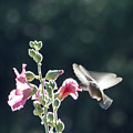 Hummingbird Drinking Pink Hollyhock Photography by CheyAnne Sexton