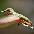Hummingbird Facing Left by Albert Seger
