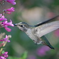 Hummingbird by Frank Stallone