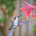 Hummingbird Happiness 2 by Kerri Farley