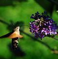 Hummingbird Hawk Moth 2 by P Donovan