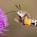 Hummingbird Hawk-moth  by Mircea Costina Photography