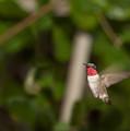 Hummingbird Hovering by Daniel Earnhardt