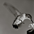 Hummingbird In Black And White by Edward Myers