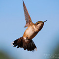 Hummingbird In Flight by Dave Chafin