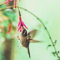 Hummingbird In Flight Sucking On A Juicy Pink Flower by Srdjan Kirtic