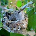 Hummingbird In Nest 1 by Randall Weidner