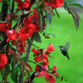 Hummingbird In The Flowering Quince - Digital Painting by Carol Groenen