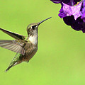 Hummingbird by Lou Ford