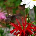 Hummingbird Mid Flight by Kat J