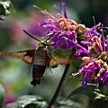 Hummingbird Moth 1 by John Feiser