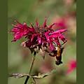 Hummingbird Moth 15 by John Feiser