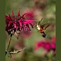 Hummingbird Moth 33 by John Feiser