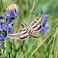 Hummingbird Moth by Brad Christensen