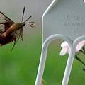 Hummingbird Moth by Don and Sheryl Cooper