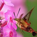 Hummingbird Moth Feeding 1 by Brian Hale