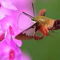 Hummingbird Moth Feeding 2 by Brian Hale