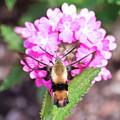 Hummingbird Moth Feeding 3 by Brian Hale